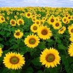 sunflower-11574_640